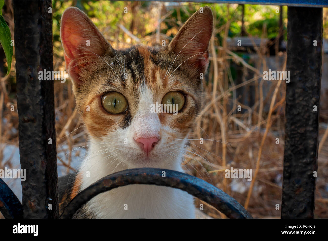 Wide-eyed Greek alley cat staring through wrought-iron fence, Kissamos, Crete - Stock Image