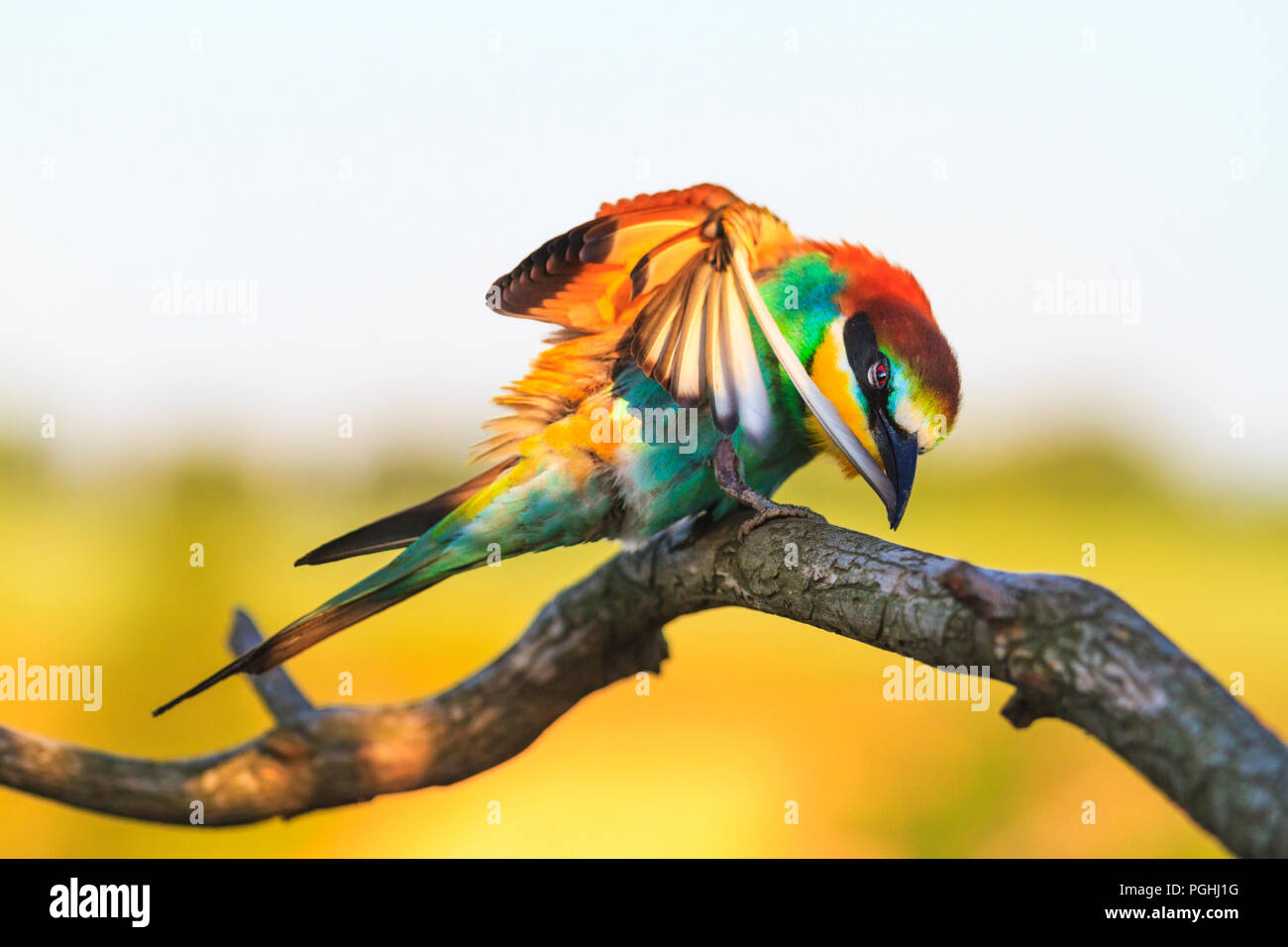 colored bee-eaters exotic bird cleaning feathers - Stock Image