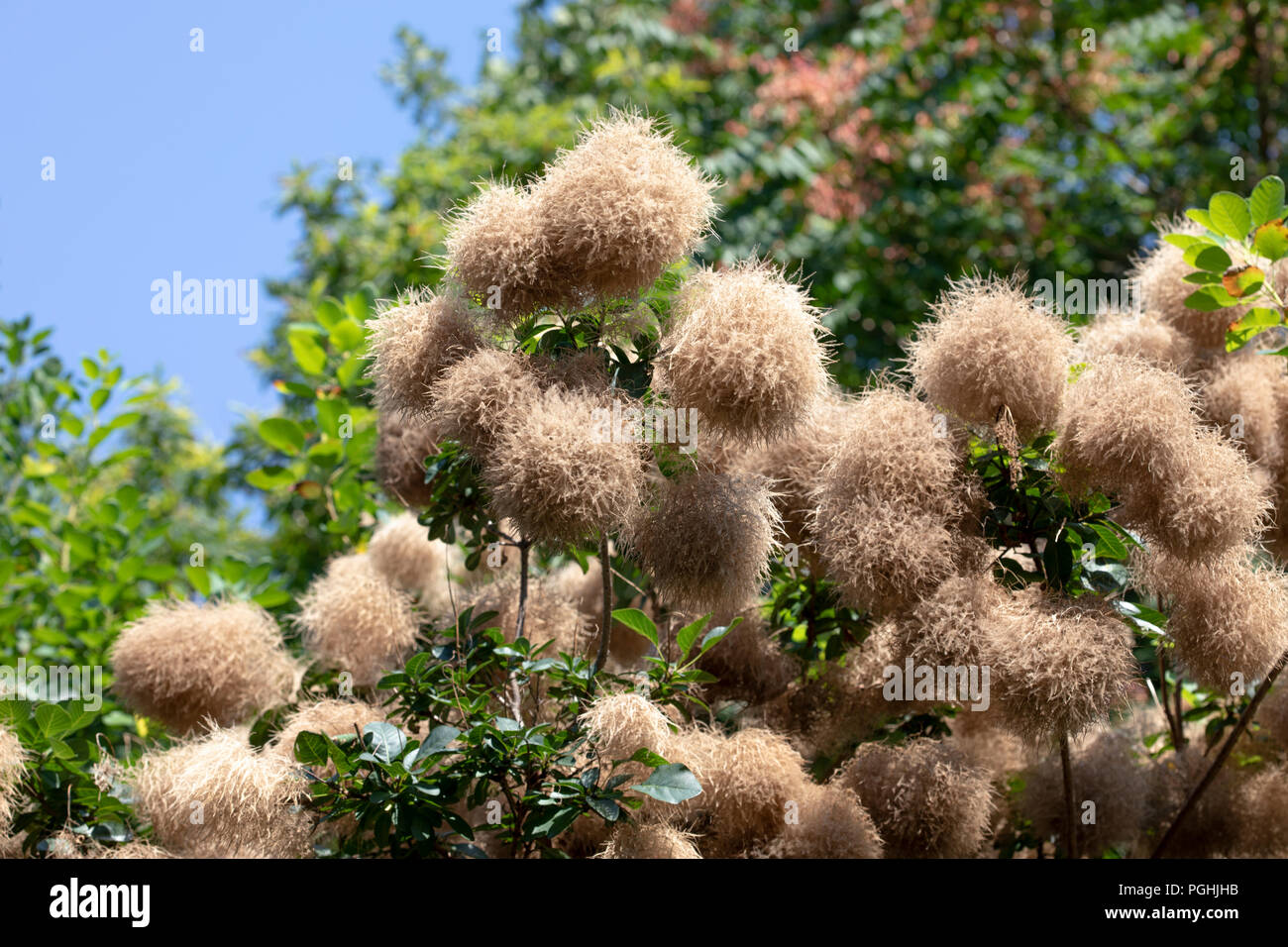 "Flowering Cotinus Coggygria ""Daydream"" Cultivar of Common Smoketree - Stock Image"