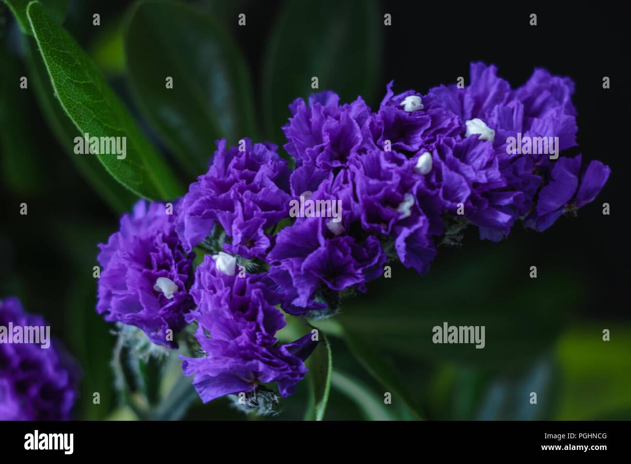 Everlasting Flower Stock Photos Everlasting Flower Stock Images