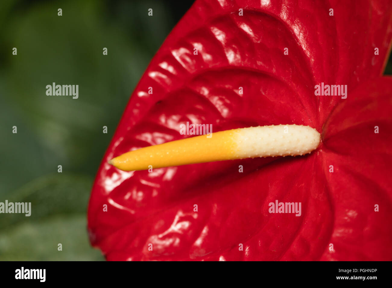 Red Anthurium - great indoor tropical plant - Stock Image
