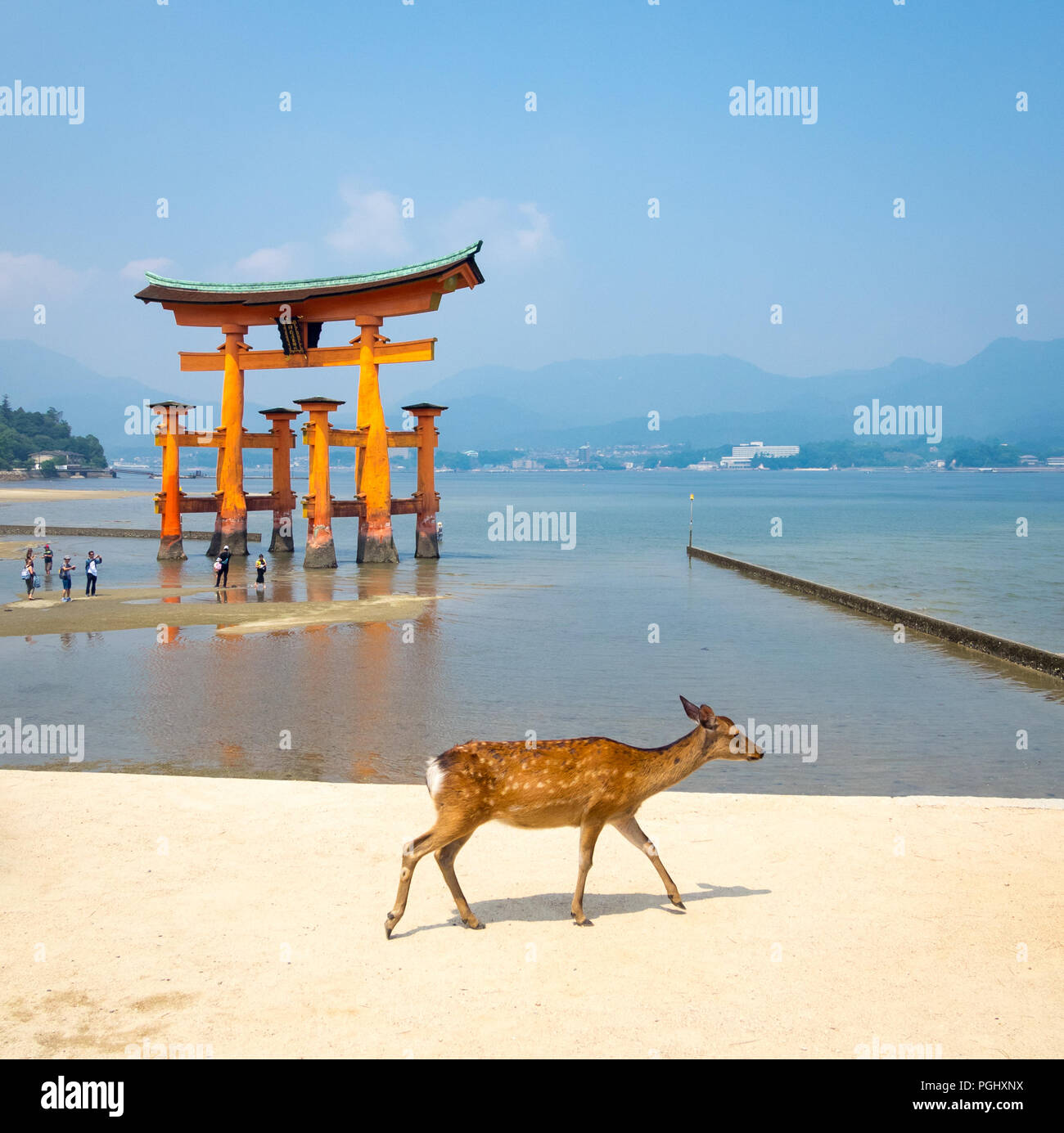 A female sika deer (Cervus nippon) in front of the floating torii gate at Itsukushima Shrine on the island of Miyajima, Hiroshima Prefecture, Japan. - Stock Image