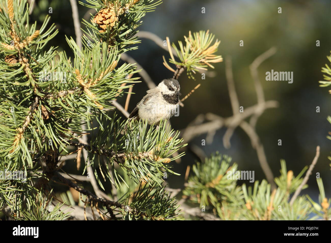 Mountain Chickadee in a Pinyon Pine tree. The Chickadee is a Juvenile. The picture was taken in it's natural habitat. - Stock Image