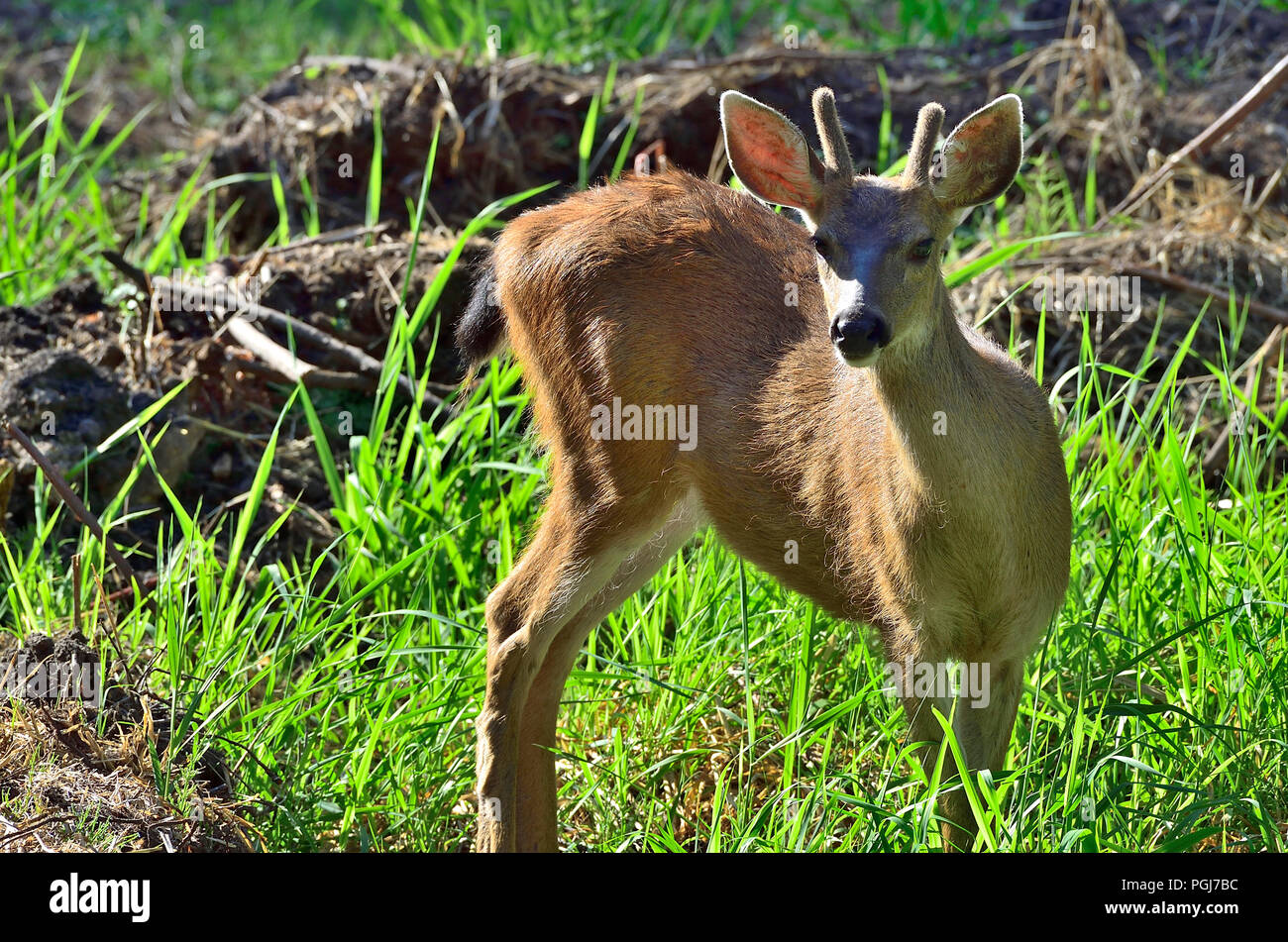 A young Black-tailed buck deer (Odocoileus hemionus columbianus); looking up as he feeds on some green vegetation on Vancouver Island British Columbia - Stock Image