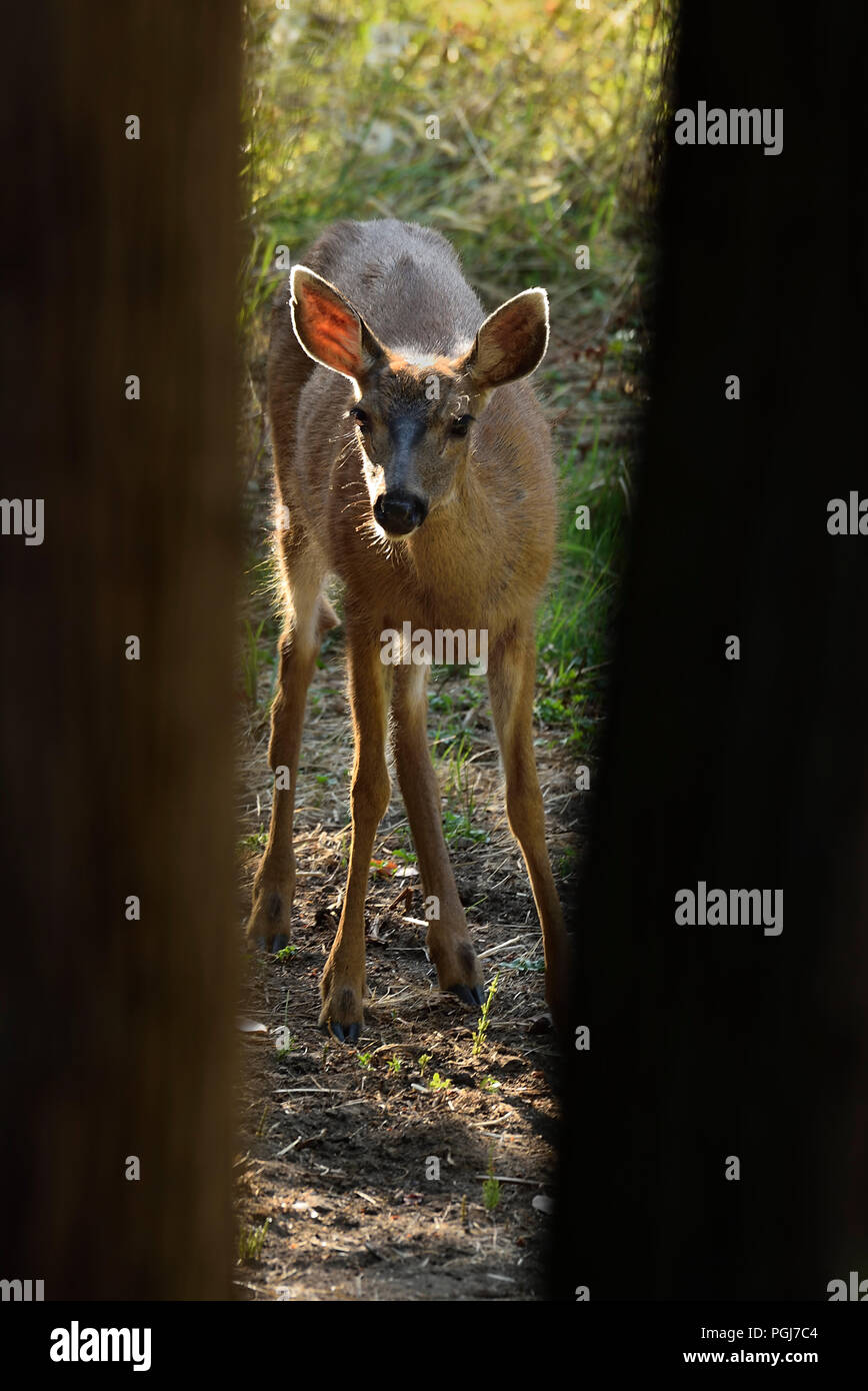 A young Black-tailed female deer (Odocoileus hemionus columbianus); looking up between two tree trunks as she feeds on some green vegetation on Vancou - Stock Image