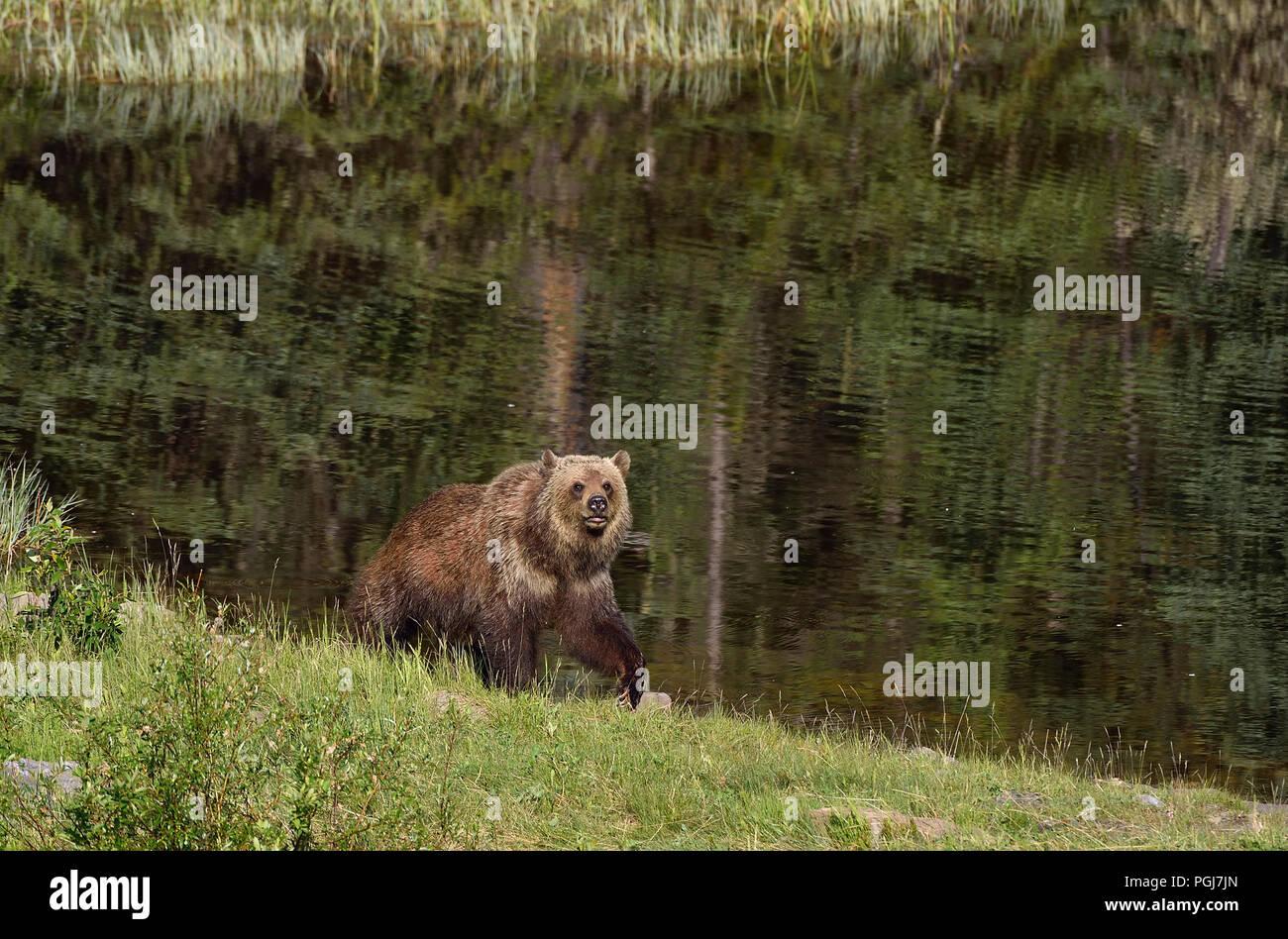 A grizzly bear  (Ursus arctos); walking along a lake shore in rural Alberta Canada. - Stock Image