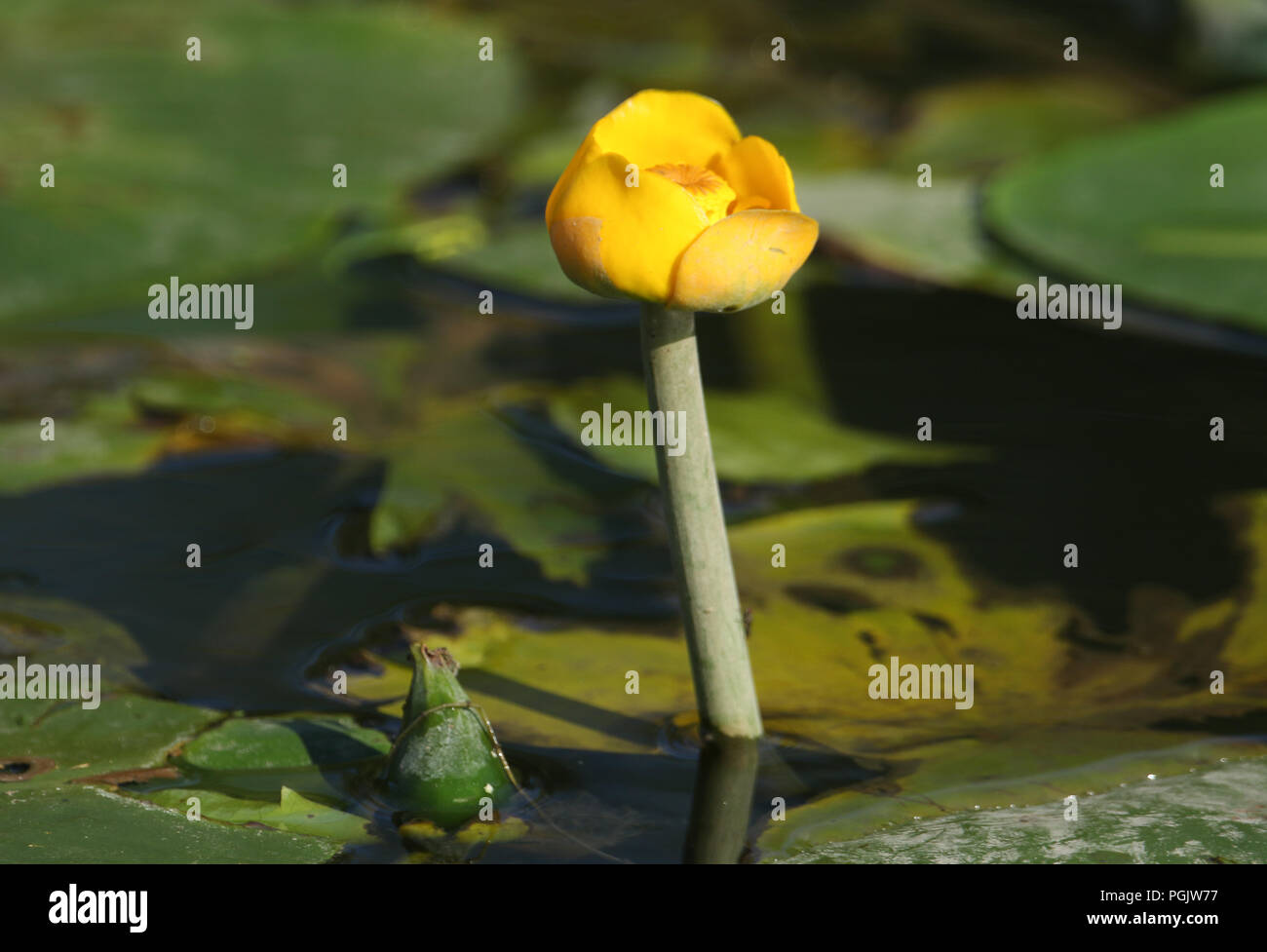 A pretty Yellow Water-lilly (Nuphar lutea) a wild plant growing in a stream in the UK. Stock Photo