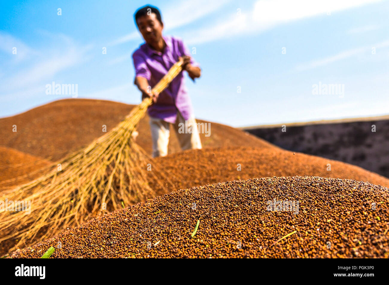 Zaoqiang, China's Hebei Province. 27th Aug, 2018. A villager sorts out impure sorghum in Xizhaozhuang Village of Xiaozhang Township in Zaoqiang County, north China's Hebei Province, Aug. 27, 2018. Since 2018, Zaoqiang government has been engaged in helping villagers get rid of poverty by instructing them to plant minor grain crops. Credit: Li Xiaoguo/Xinhua/Alamy Live News - Stock Image