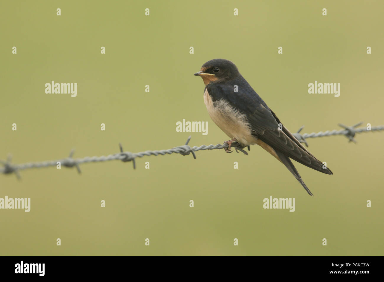 A beautiful Swallow (Hirundo rustica) perching on a barbed wire fence. - Stock Image