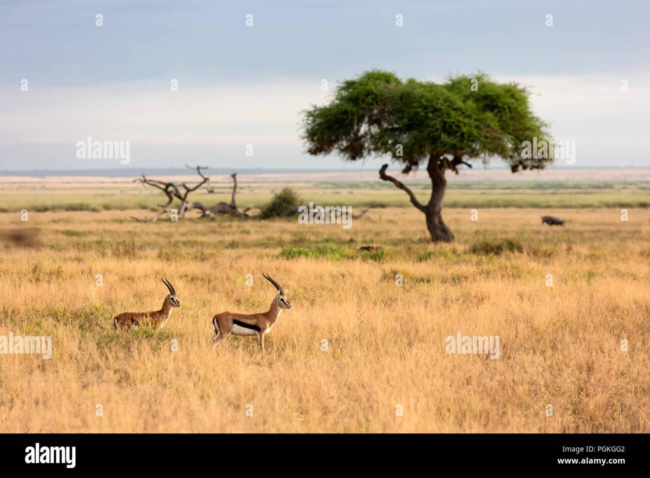 Thomson's Gazelle Amboseli National Park - Stock Image