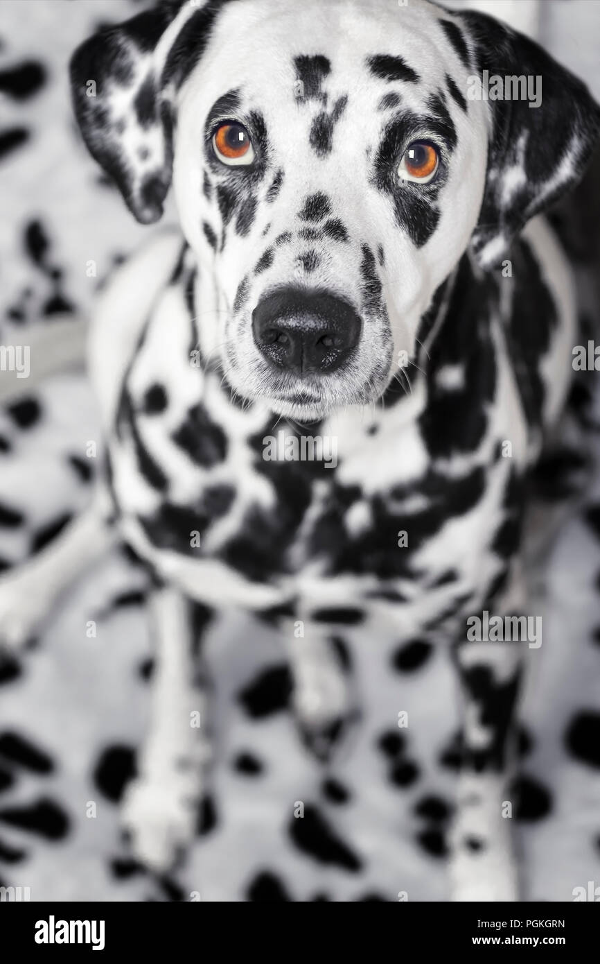 Dalmatian Dog Sitting And Looking At The Camera Nose In Focus