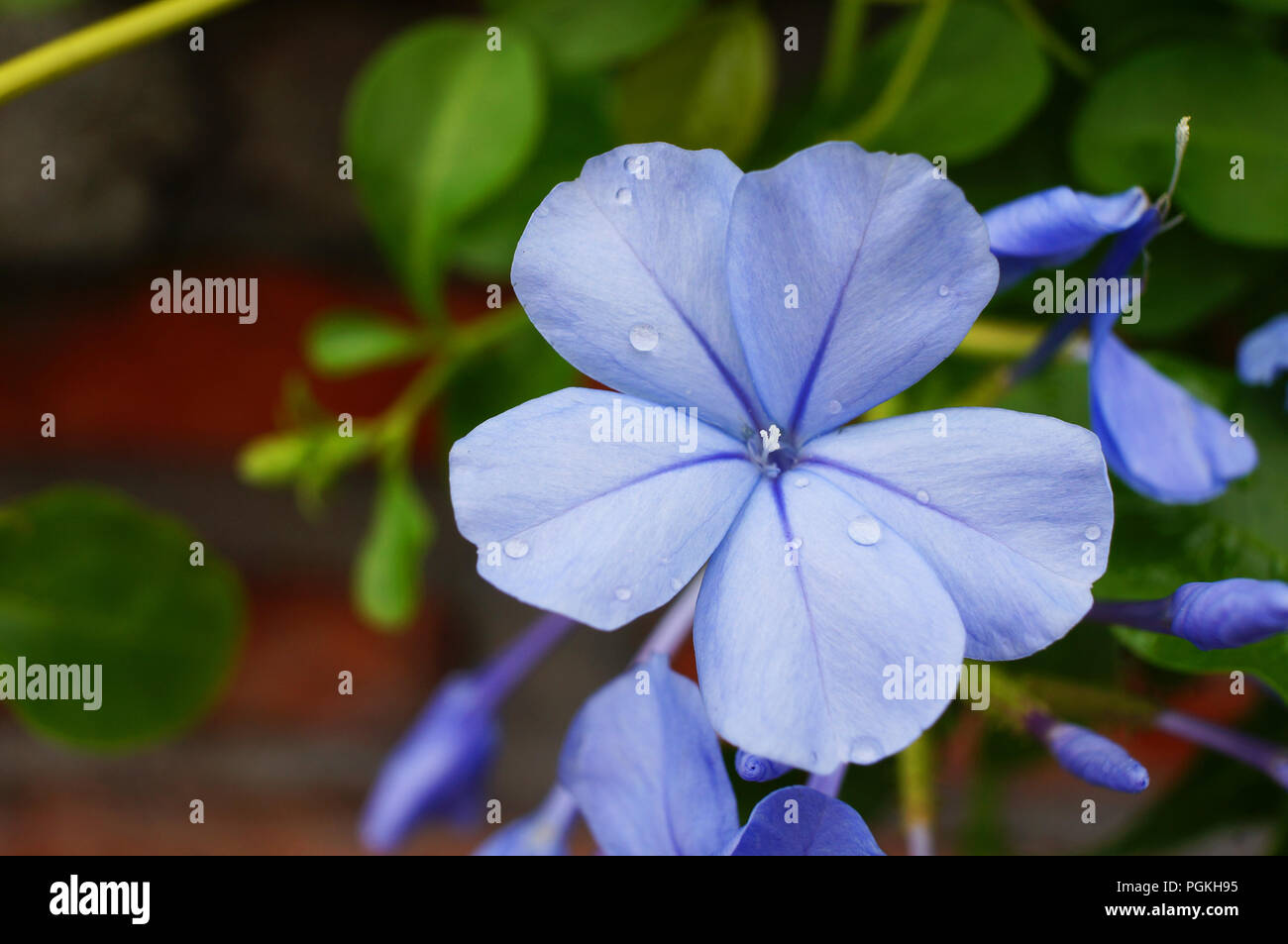 Imperial blue plumbago produces large clusters of deep sky blue imperial blue plumbago produces large clusters of deep sky blue flowers from early summer until fall plumbago is a heat sun and drought tolerant izmirmasajfo