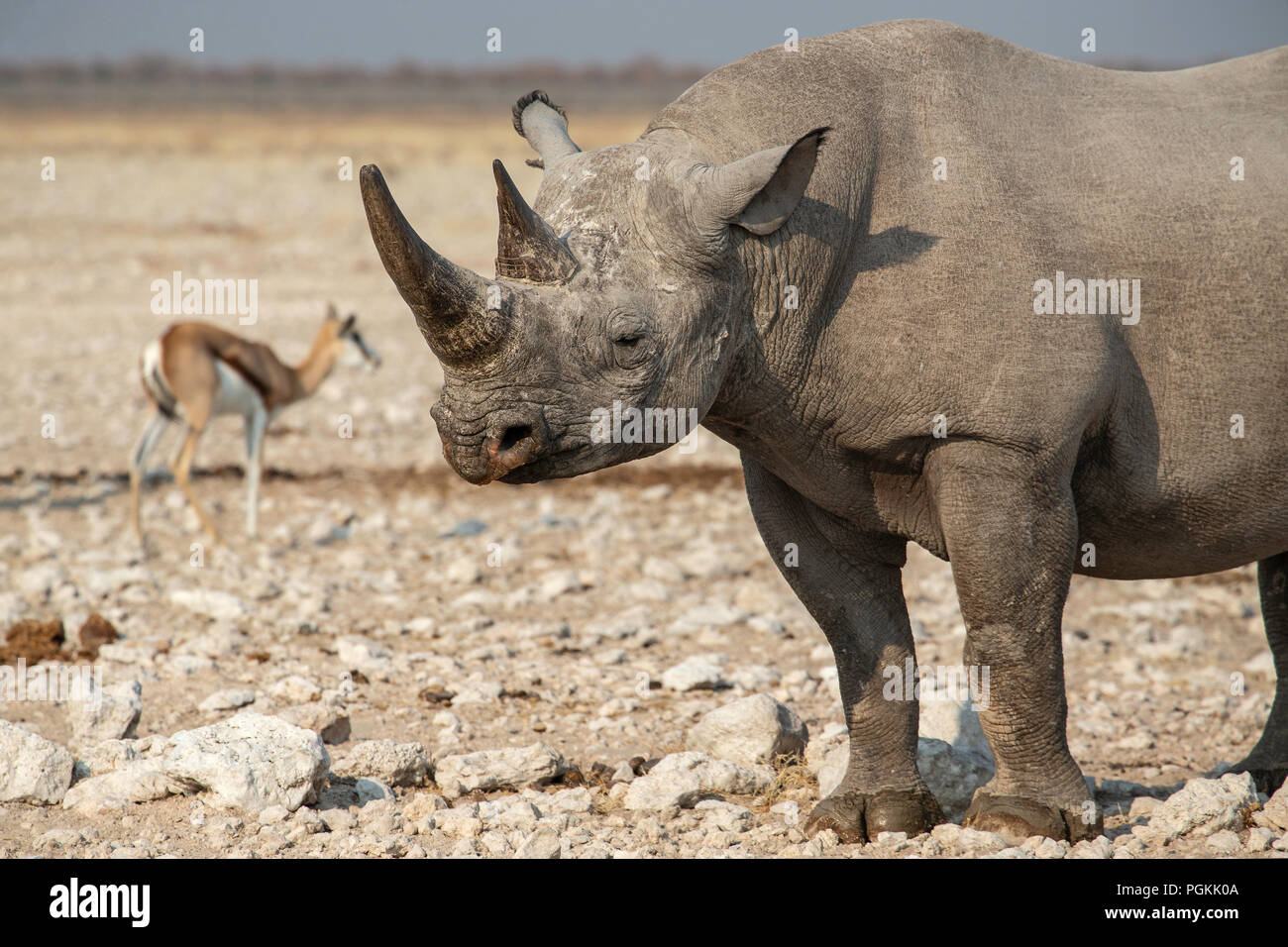 Head and forequarters of Black rhino or hook-lipped rhinoceros - Diceros bicornis - near a waterhole in Etosha, Namibia. - Stock Image