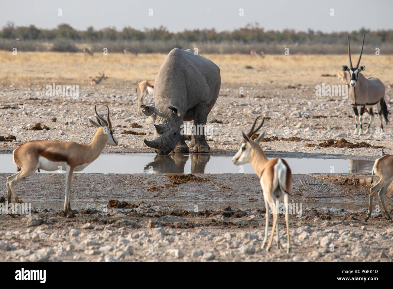 Black rhino or hook-lipped rhinoceros - Diceros bicornis - drinking at a waterhole with springbok and oryx looking on, in Etosha, Namibia. - Stock Image