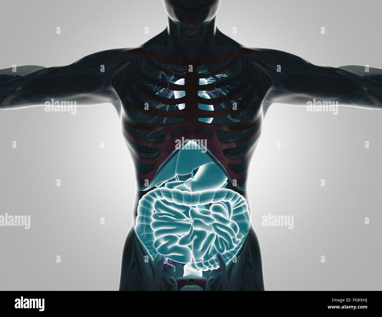 Human body with visible organs, 3d render illustration Stock Photo ...