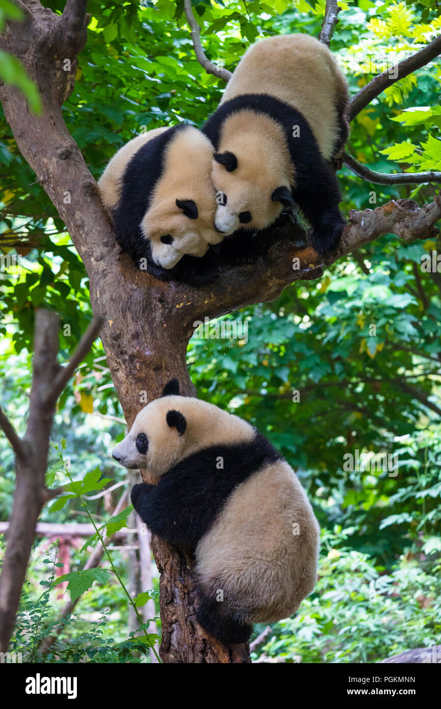 Two giant pandas playing in a tree in day - Stock Image