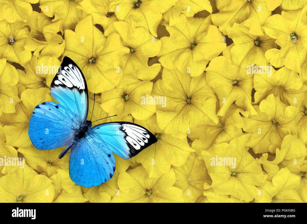 Blue Butterfly Isolated On Yellow Flowers Background Beautiful