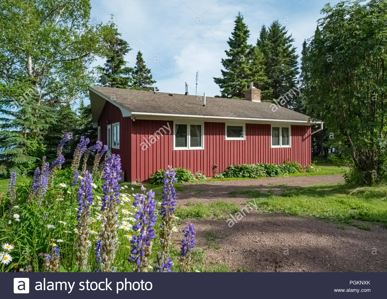 Lupine flowers bloom on walkway to a cabin with sweeping views of Lake Superior in Lutsen,  Minnesota, USA. Stock Photo