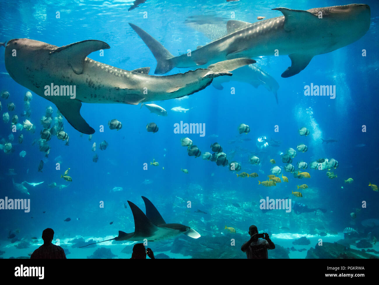Atlanta's Georgia Aquarium gives visitors a breathtaking underwater view as massive whale sharks and a manta ray swim with two human divers. - Stock Image