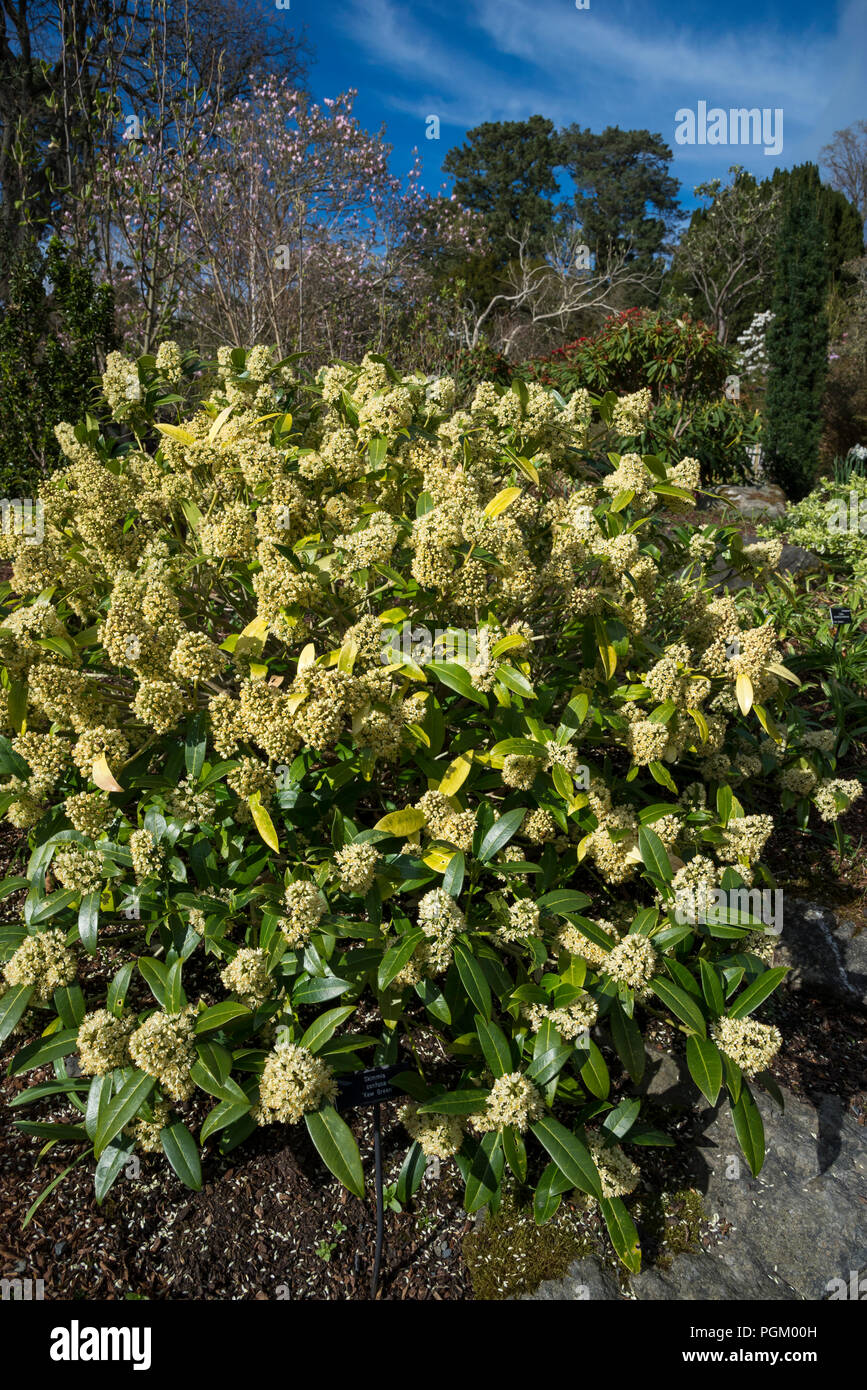 Skimmia Confusa Kew Green An Evergreen Shrub With Pale Yellow