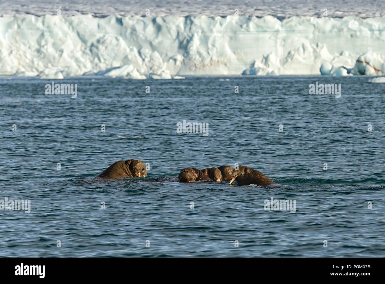 Group of walruses swimming in sea in front of Bråsvellbreen, Austfonna, Nordaustlandet, Svalbard Archipelago, Norway Stock Photo