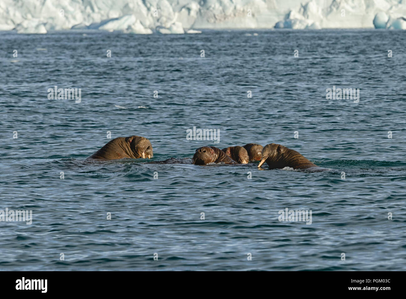 Group of walruses swimming in sea in front of Bråsvellbreen, Austfonna, Nordaustlandet, Svalbard Archipelago, Norway, 2017 - Stock Image
