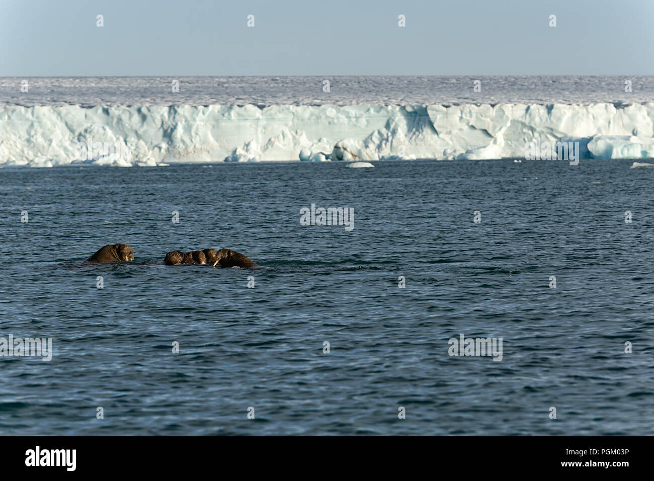 Group of walruses swimming in sea in front of Bråsvellbreen, Austfonna, Nordaustlandet, Svalbard Archipelago, Norway Stock Photo