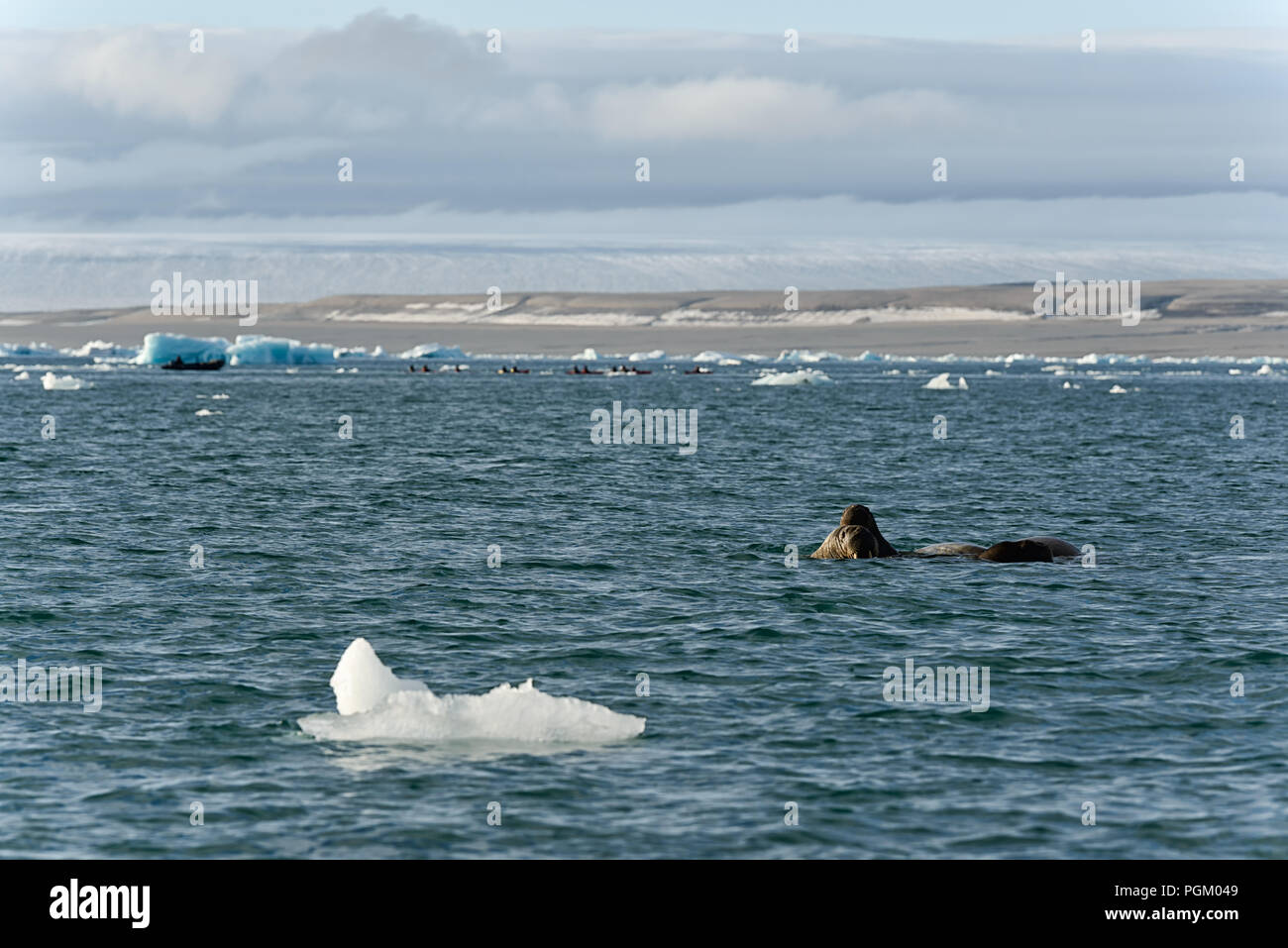 Group of walruses swimming in sea in front and tourists behind near Bråsvellbreen, Austfonna, Nordaustlandet, Svalbard Archipelago, Norway, 2017 - Stock Image