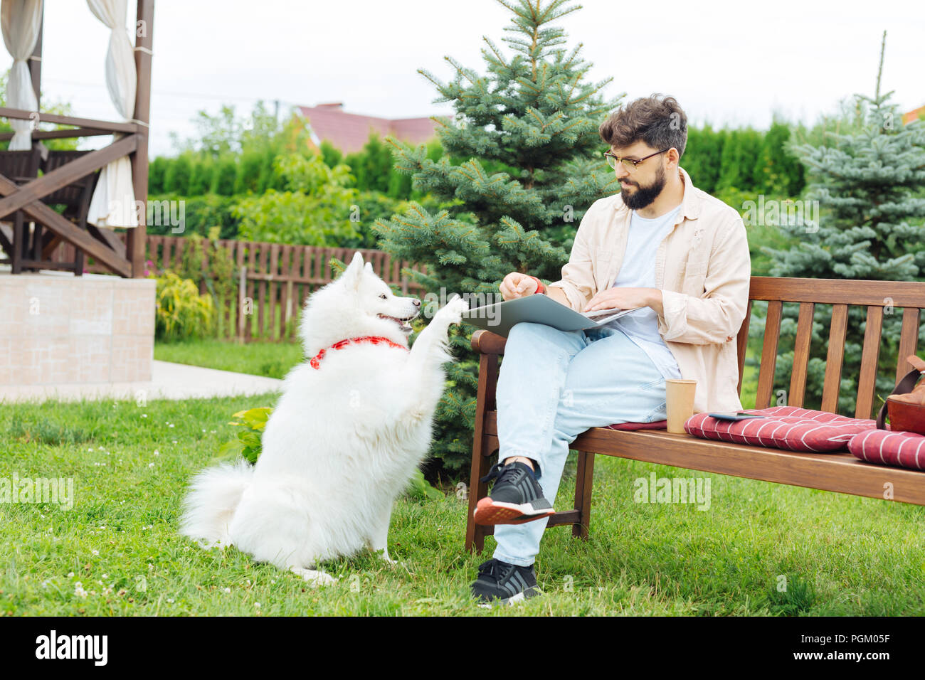 Cute white husky playing with his busy working owner - Stock Image