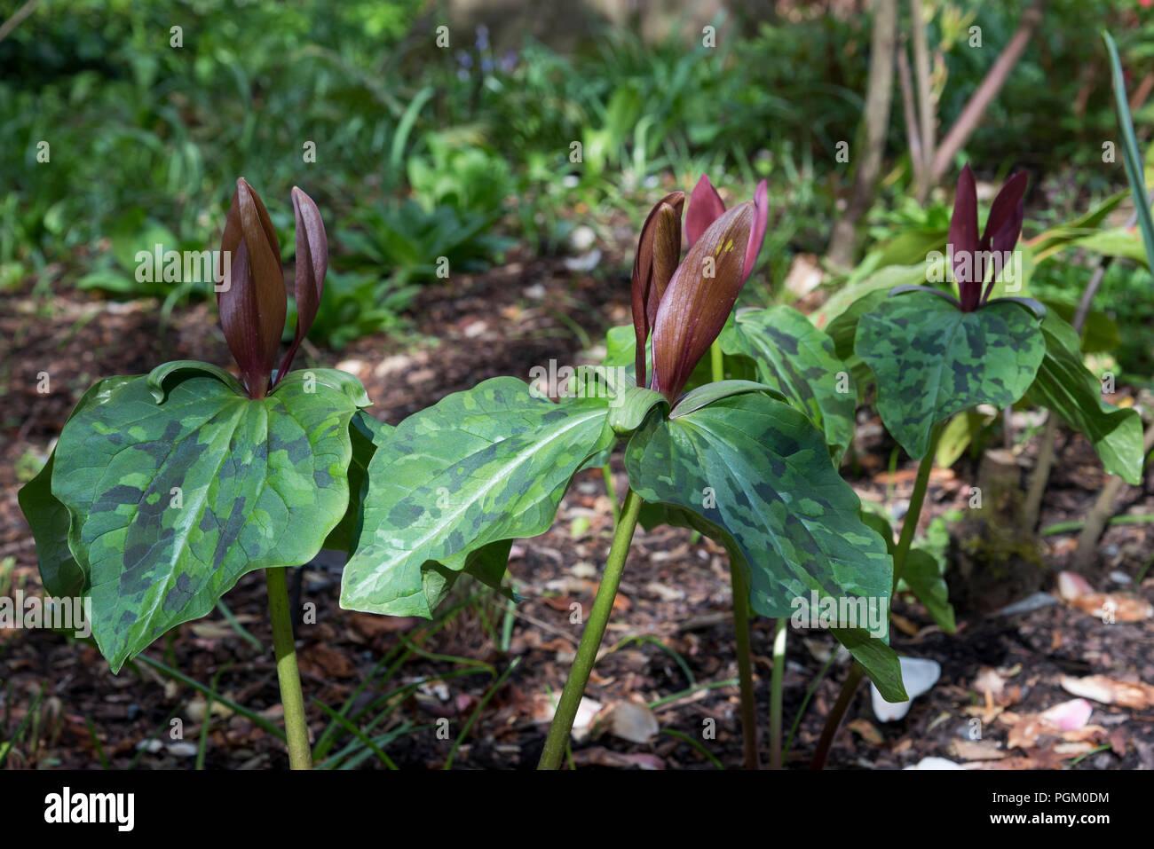 Trillium chloropetalum var giganteum a spring flowering shade trillium chloropetalum var giganteum a spring flowering shade loving perennial plant mightylinksfo