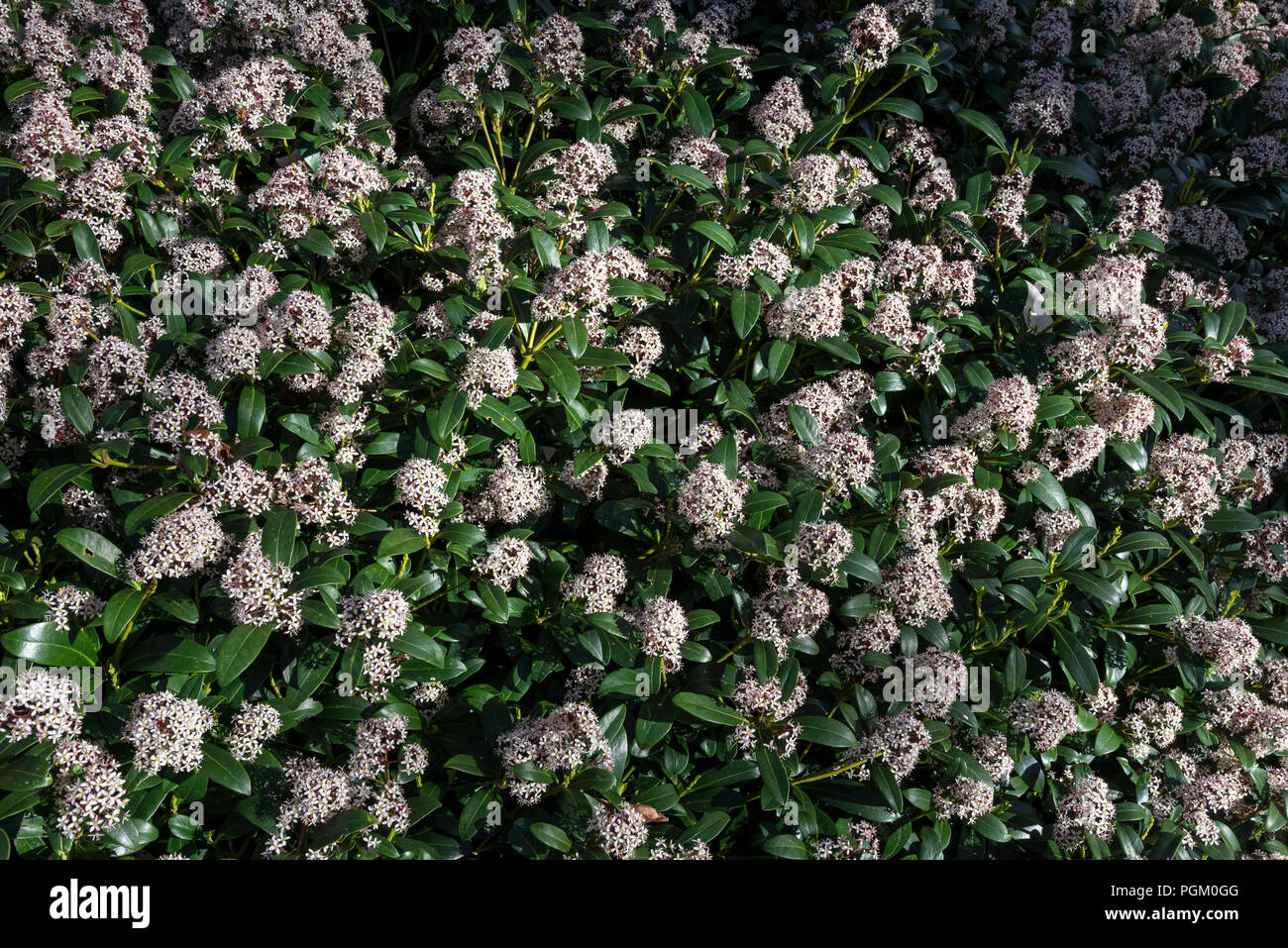 Skimmia Japonica Rubella in full bloom. An evergreen ornamental shrub flowering in spring. - Stock Image
