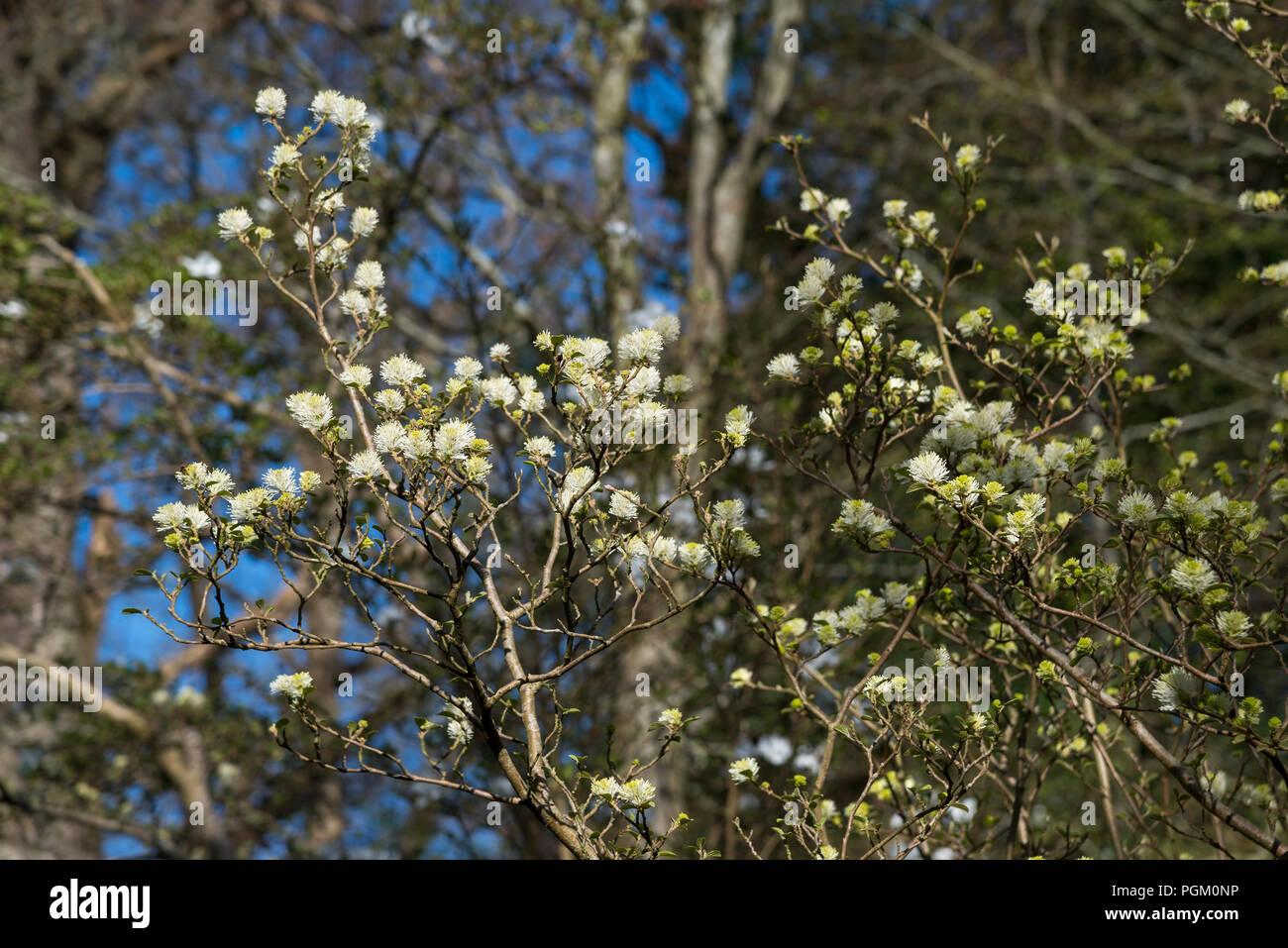 Fothergilla major a spring flowering shrub white fluffy white fothergilla major a spring flowering shrub white fluffy white flowers mightylinksfo