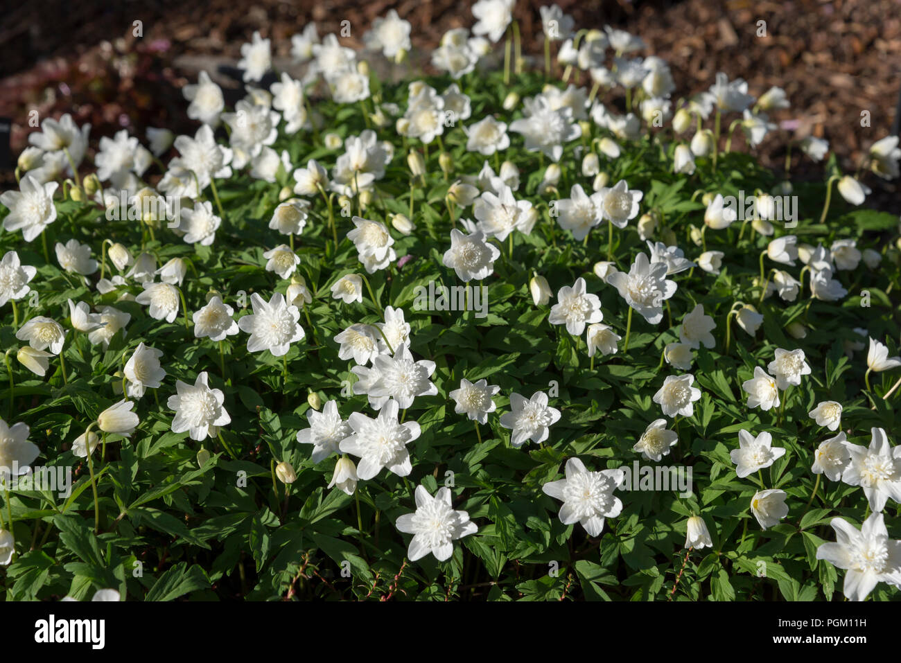 Anemone Nemorosa 'Vestal'. A pure white spring flowering form of wood Anemone with dainty double flowers. Stock Photo