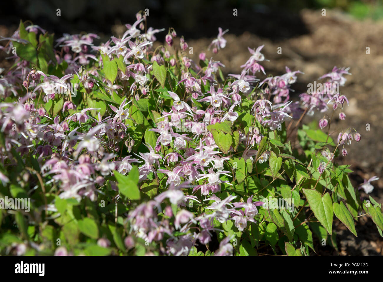 Epimedium Akebono A Dainty Spring Flowering Perennial Plant With