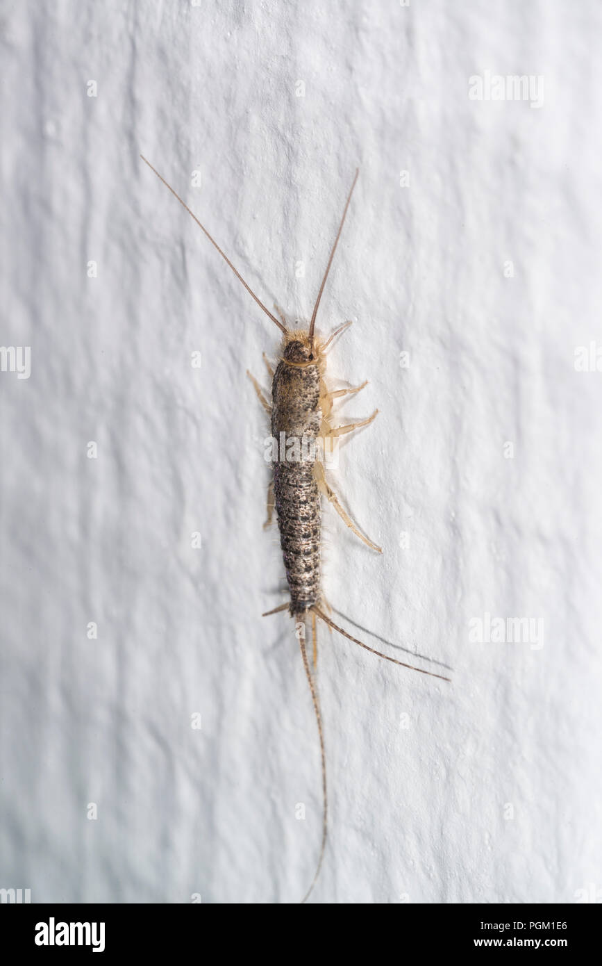 Gray silverfish on a white wall in a house Stock Photo