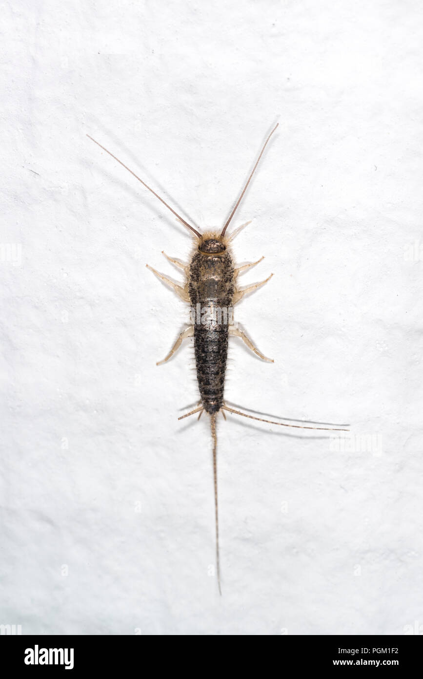 Gray silverfish on a white wall in a house - Stock Image