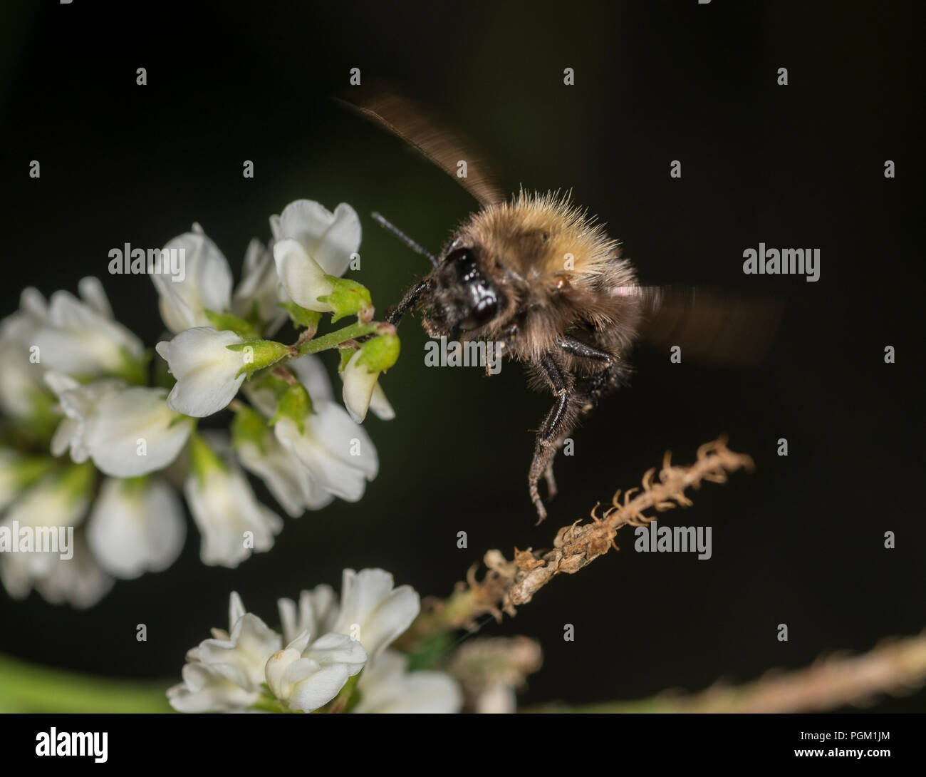 Bumble bee gathering honey from a flower - Stock Image