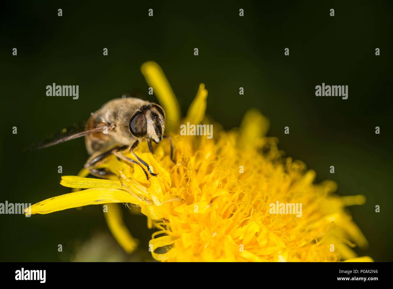Honey bee gathering honey from a yellow flower - Stock Image