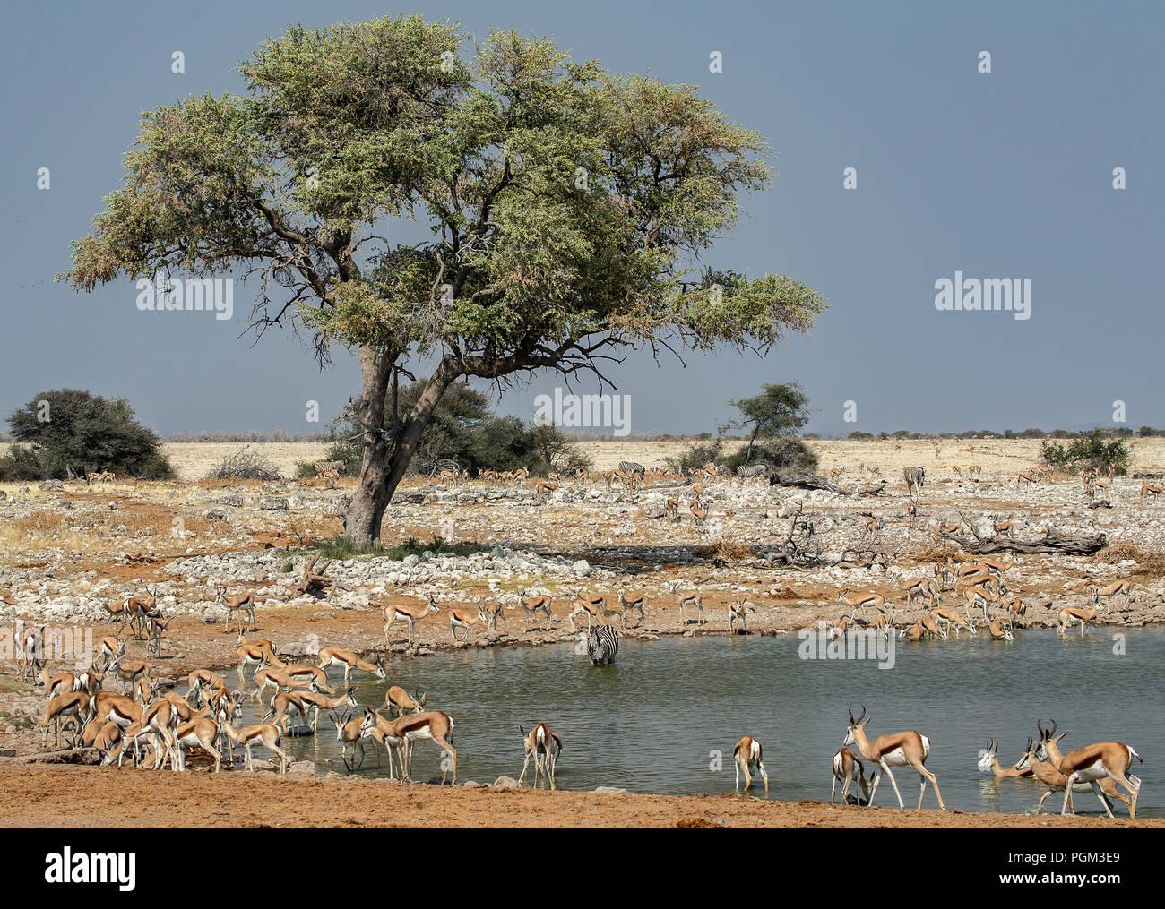 Herd of Springbok - Antidorcas marsupialis - drinking at Okaukeujo waterhole in Etosha, Namibia. Large tree in background. - Stock Image