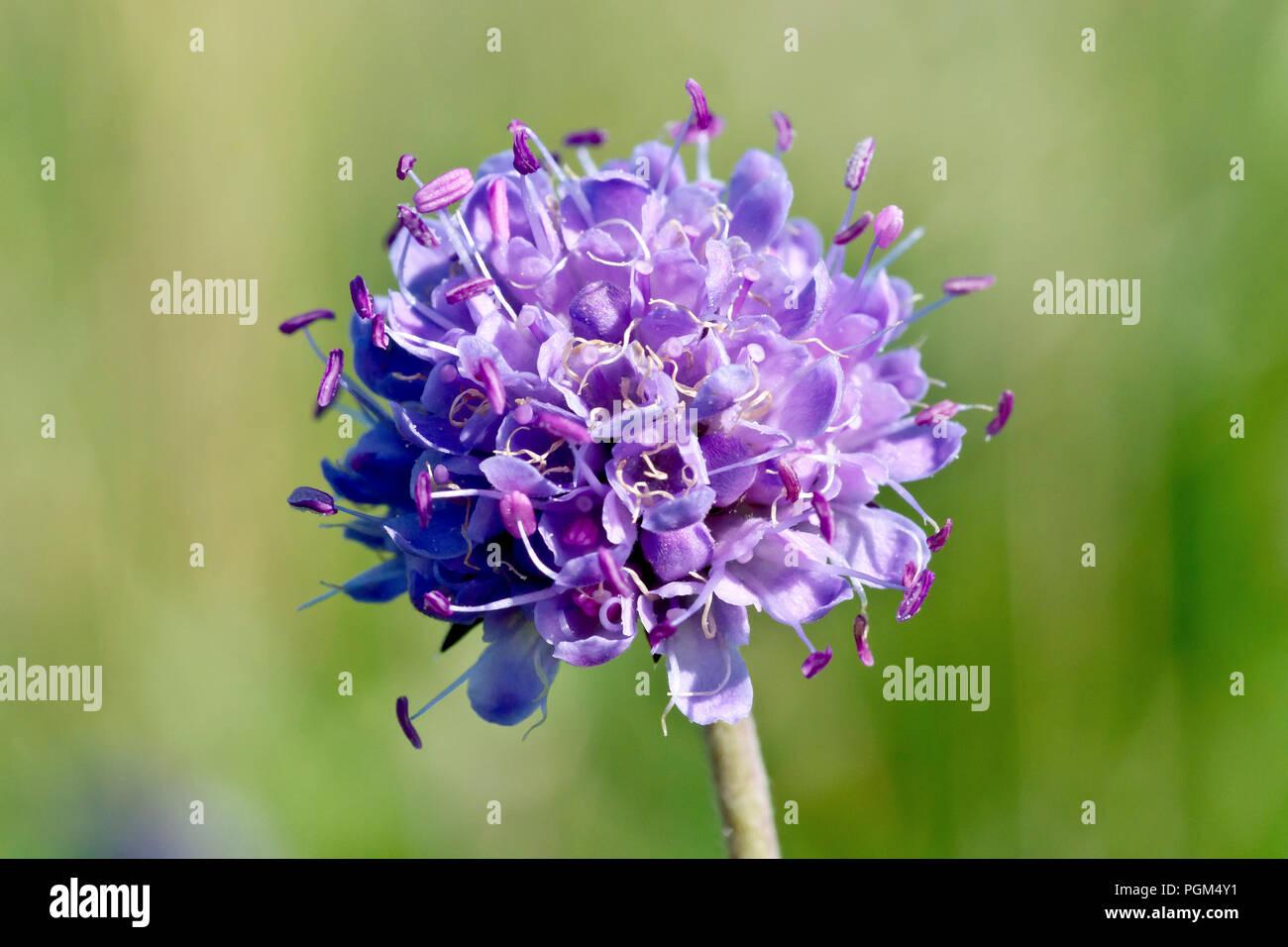 Devil's-bit Scabious (succisa pratensis), close up of a single flower head. - Stock Image