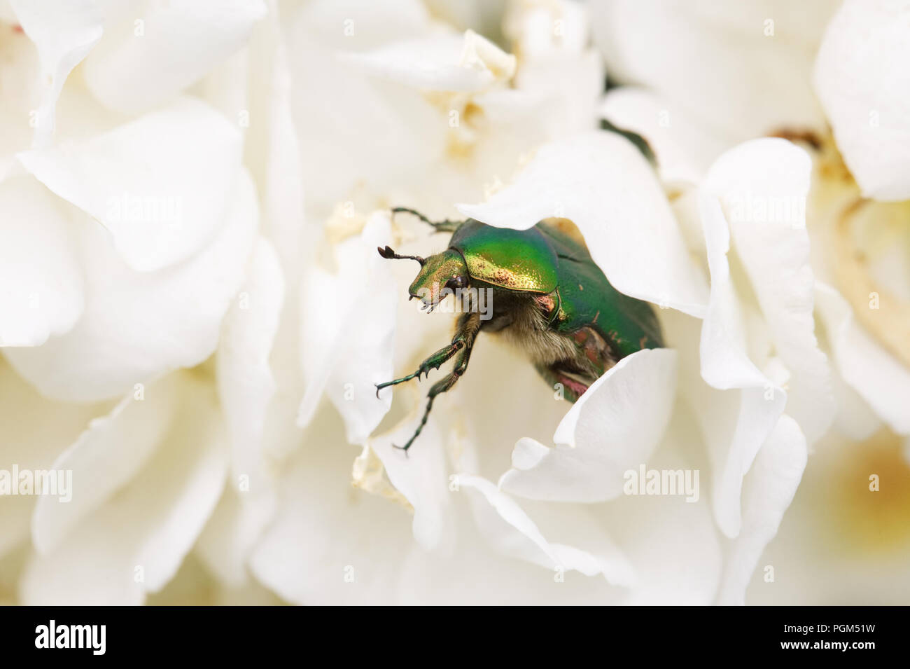 Cetonia aurata emerging from a white rose. Green Rose Chafer beetle. - Stock Image
