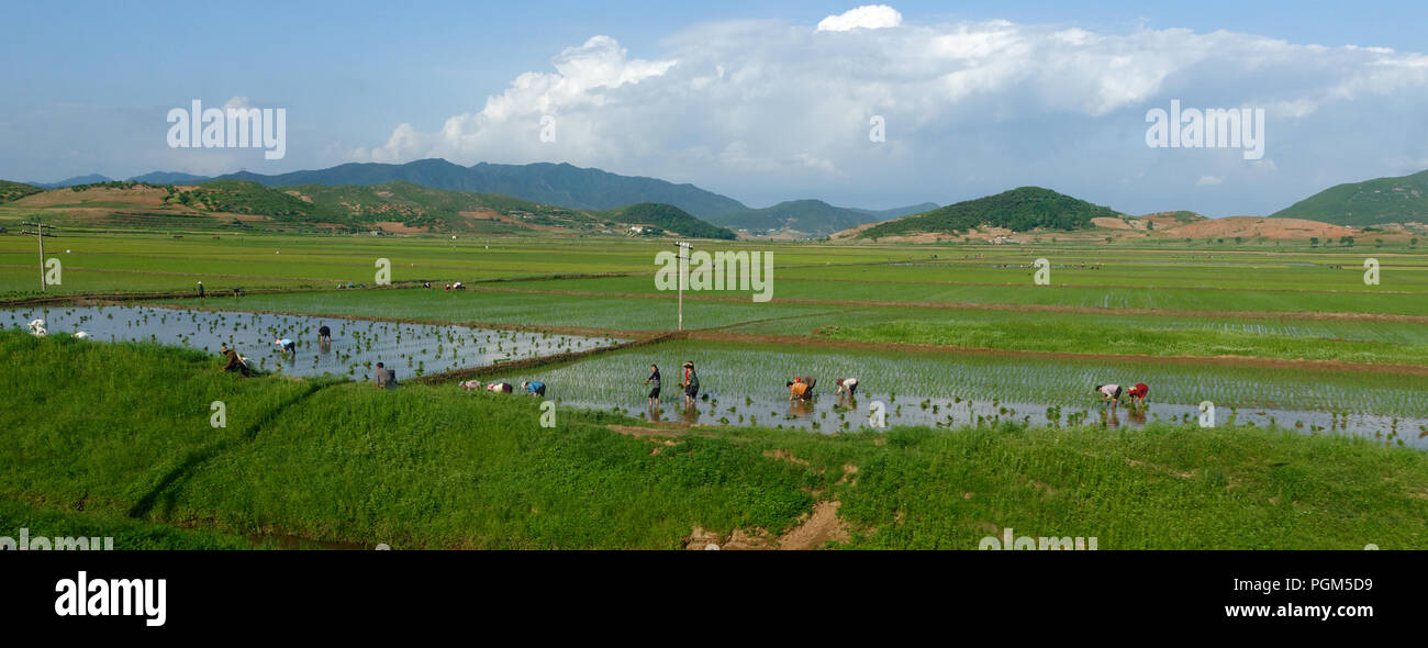 Workers toiling in the sun and heat in a rice field in North Korea - Stock Image