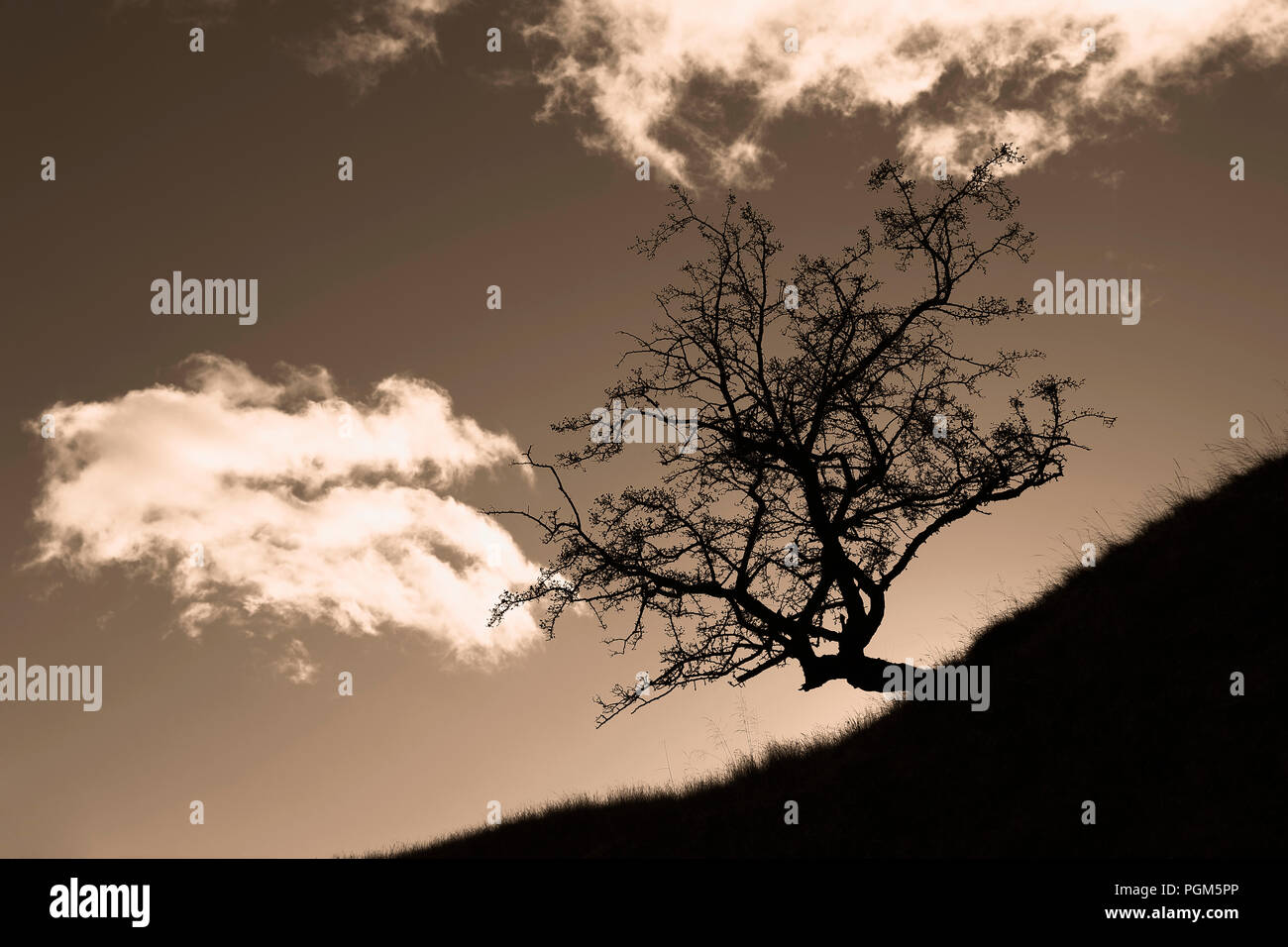 A Hawthorn tree Silhouette on a  hillside in Yorkshire Dales National Park - Stock Image