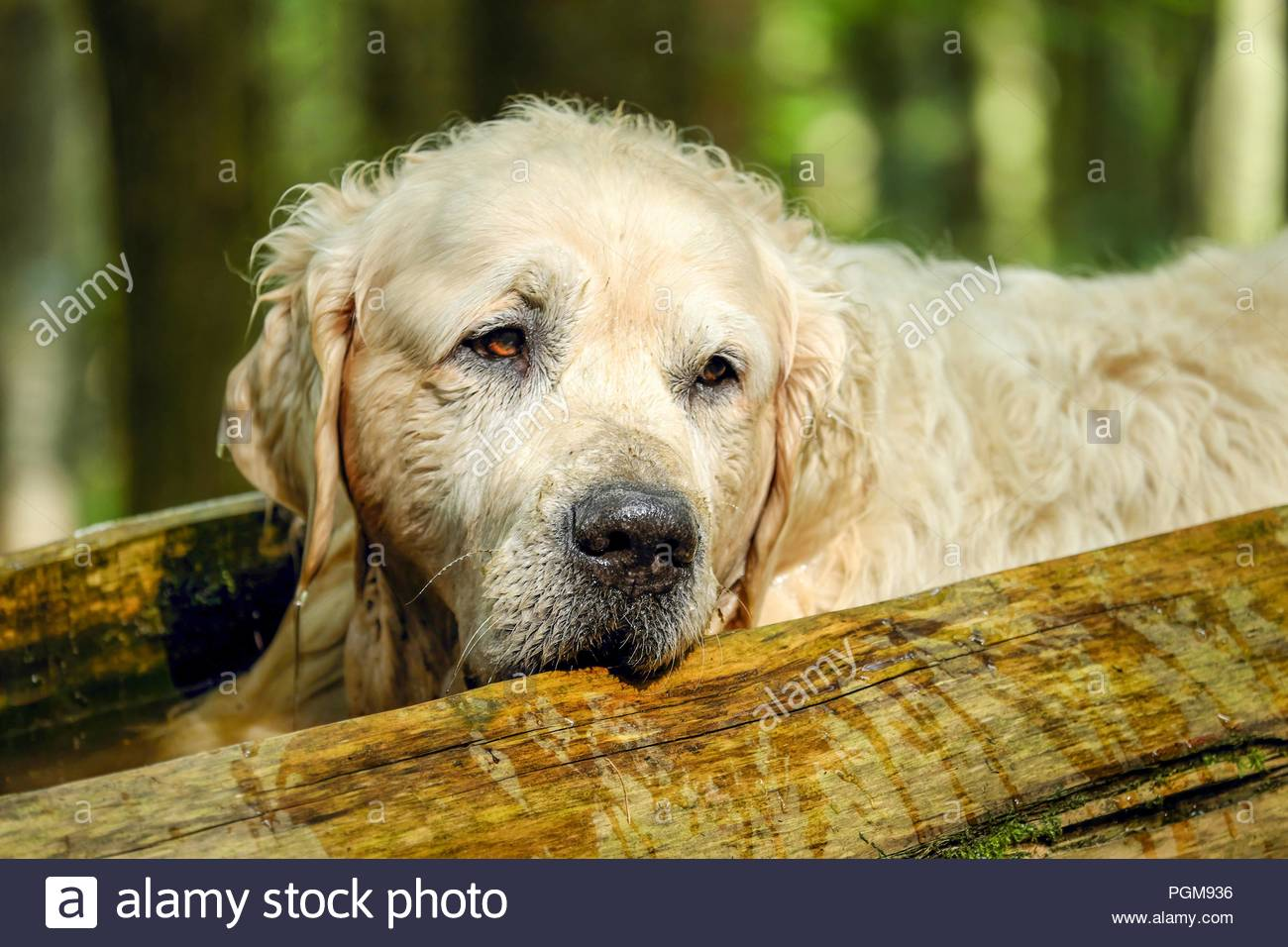 Golden Retriever White Light Brown Dog Pet Animal Sleeping Friend