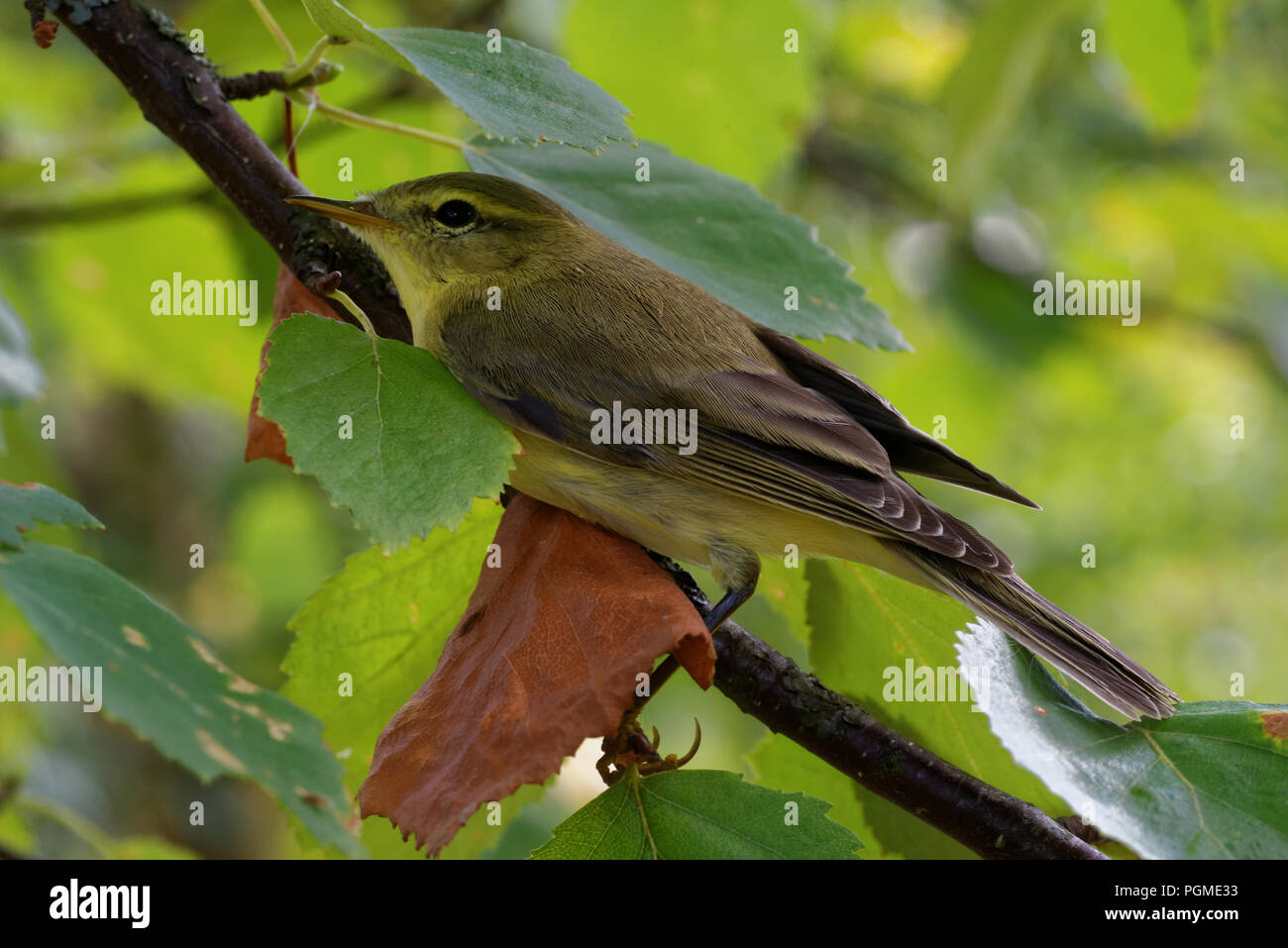 Willow warbler (Phylloscopus trochilus) is a very common and widespread leaf warbler which breeds throughout northern and temperate Europe and Asia Stock Photo