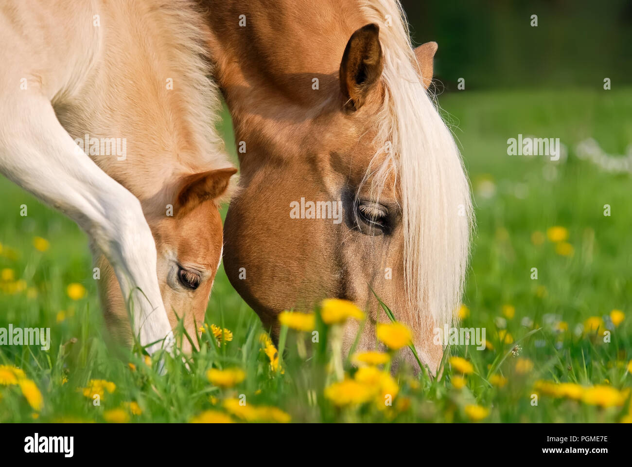 Haflinger horses, mare and foal grazing together in a green grass meadow with dandelion flowers, close up of their heads Stock Photo