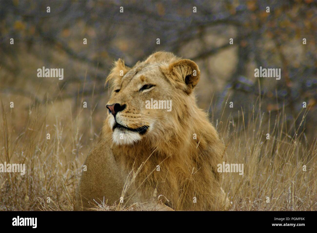 juvenile majestic lion - Stock Image