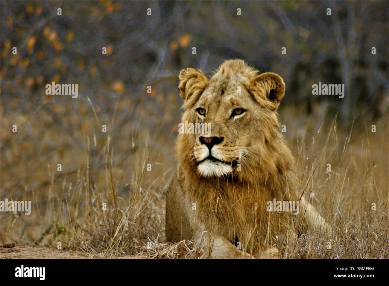 juvenile Lion laying down - Stock Image