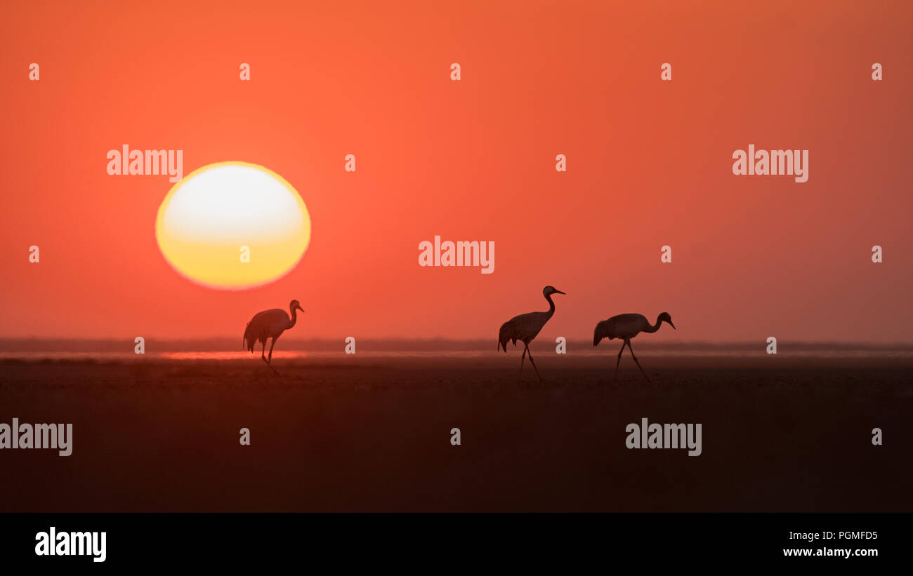 A family of migrant Common Cranes (Grus grus) silhouetted against the setting sun at Little Rann of Kutch, Gujarat, India - Stock Image