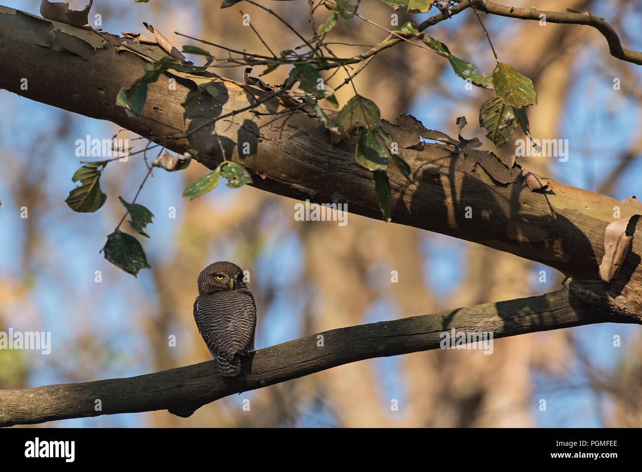 A Jungle Owlet (Glaucidium radiatum) perched on a branch in the